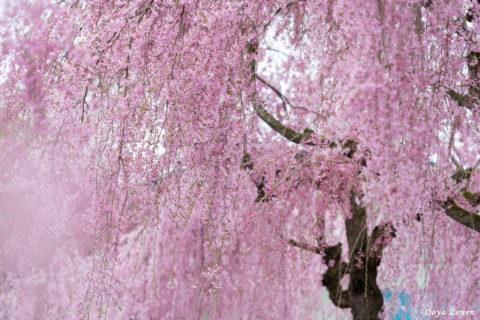 喜多方の枝垂れ桜