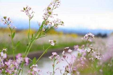 野に咲くハマダイコン